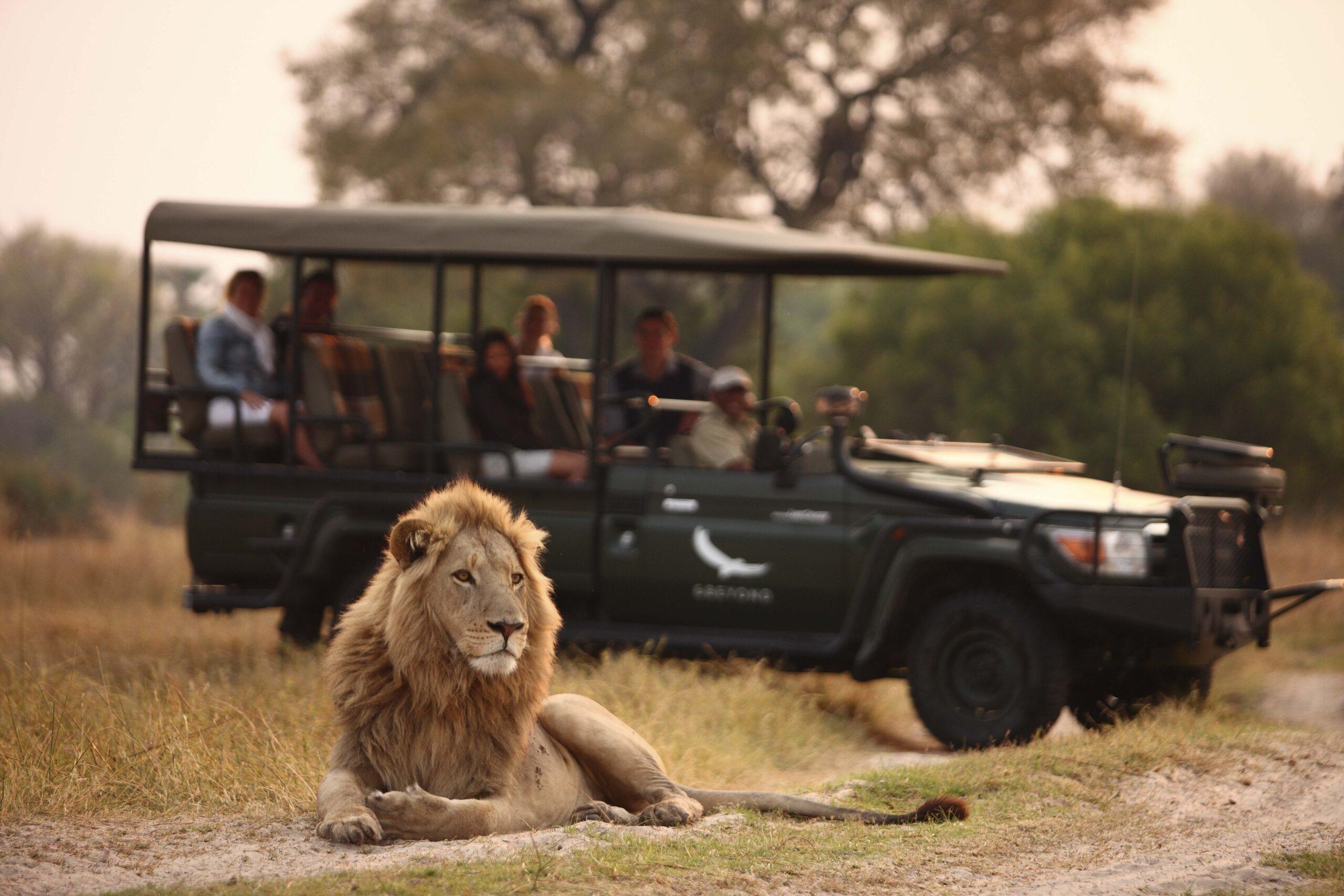 Lion-on-a-safari-game-drive-andBeyond-Sandibe-_2_