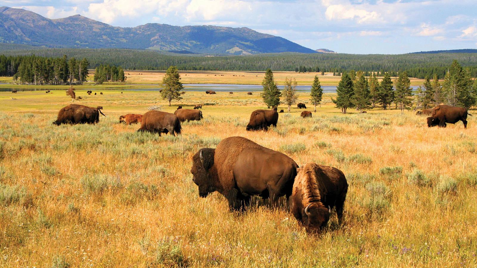 Yellowstone Bison-min